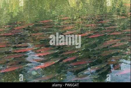 Sockeye salmon rest in large school in shallow water after running upstream - Stock Photo