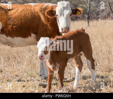 Cow with her calf on a sunny day - Stock Photo