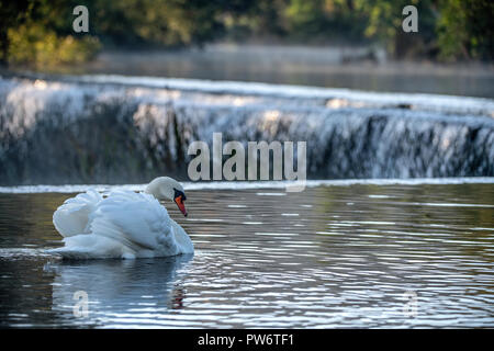 A displaying male Mute swan (Cygnus olor) at Warleigh Weir on the River Avon in Somerset, United Kingdom. - Stock Photo