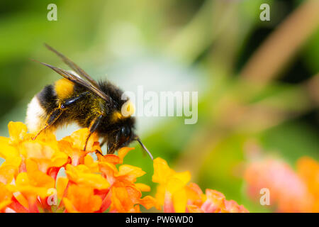 Macro of a Northern white-tailed bumblebee (Bombus magnus) on a lantana flower - Stock Photo