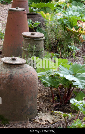 Rhubarb and cloches on an allotment - Stock Photo