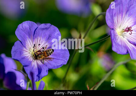 Honeybee collecting nectar pollen from a purple geranium Rozanne (Gerwat) also known as the Jolly Bee - Stock Photo