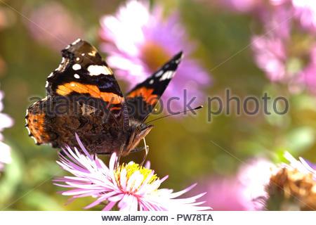 Ein Admiral (Vanessa atalanta, Syn.: Pyrameis atalanta), ein Schmetterling aus der Familie der Edelfalter (Nymphalidae) auf der Blüte einer Aster. - Stock Photo