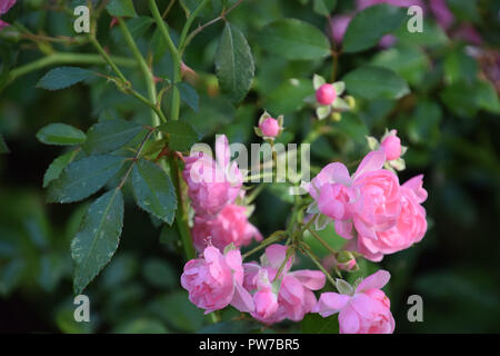 shark prickles on the stems of the lovely eden roses, bright pink climbing rose flowers in early autumn in germany, eden roses - Stock Photo