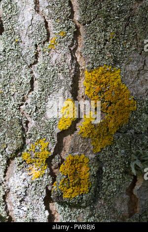 Lichen patterns on tree bark, Scotland - Stock Photo