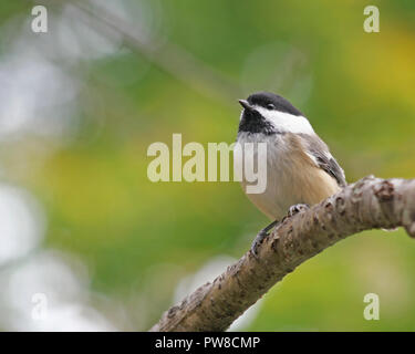 Tiny Black Capped Chickadee perched on a tree branch Tiny Black Capped Chickadee perched on a tree branch - Stock Photo