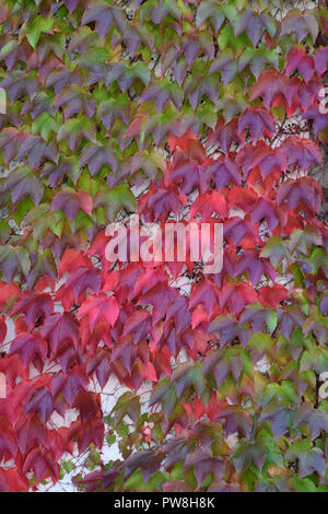 detail shot of european ivy wall in october, autumn multicolored hedera helix climbing on a concrete wall - Stock Photo