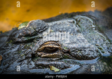 Alligator from the Sawgress Recreational Park in the Florida Everglades - Stock Photo