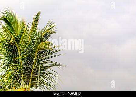 Coconut tree branch isolated on white background. Image was taken from tropical Caribbean beach island bright sunny summer day christmas holiday conce - Stock Photo