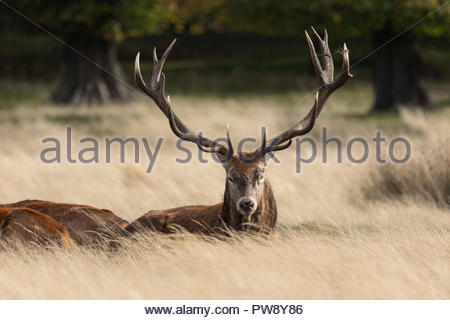 London, UK. 13th October 2018. A large Red Stag enjoys some respite after a busy morning defending his harem. During the Autumn deer rut a spectacle of Red and Fallow deer can be seen competing for females in Richmond Park, London, UK Credit: Alan Ball/Alamy Live News - Stock Photo