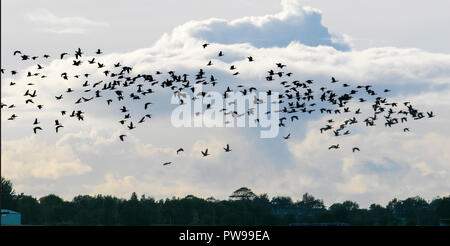 Burscough, Lancashire, UK Weather.  14/10/2018 Curious cumulus cloud formation as up to 12,000 pink foot geese return to roost at Martin Mere. Cumulus clouds produce little or no precipitation, but they can grow into the precipitation-bearing congestus or cumulonimbus clouds often associated with heavy rain. The Pink-footed Goose is a winter visitor to the UK, feeding on the surrounding farmland in west Lancashire.  Credit; MediaWorldImages/AlamyLiveNews. - Stock Photo