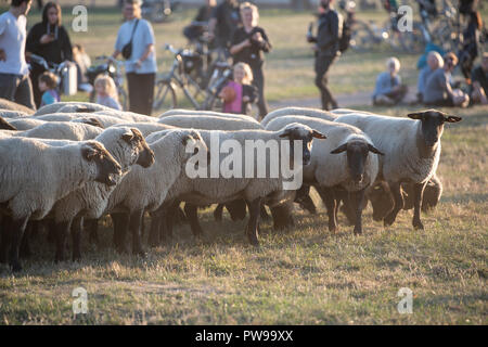 Berlin, Germany. 14 October 2018.  Sheep graze on the Tempelhof field. Until 21 October, 200 sheep will be running traditional landscape conservation activities in the Tempelhof field. Photo: Fabian Sommer/dpa Credit: dpa picture alliance/Alamy Live News - Stock Photo