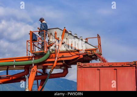 Cranberry harvesting, Pitt Meadows, British Columbia, Canada - Stock Photo