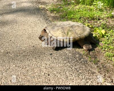 Snapping turtle sitting at the side of a rural road in sunshine - Stock Photo