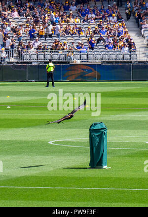 West Coast Eagles Football Club mascot Auzzie the wedge tailed eagle flying at Optus Stadium 2018 AFL Preliminary Final Perth Western Australia. - Stock Photo