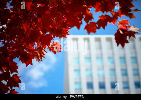 red maple leaves  against urban building in sapporo city hokkaido japan - Stock Photo