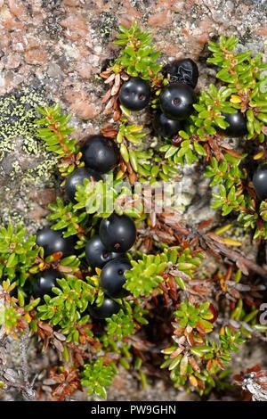 Crowberry - Empetrum nigrum  Black Berries, tiny Flowers & Leaves growing over Granite Rock  Cairngorm Mountains, Scotland - Stock Photo