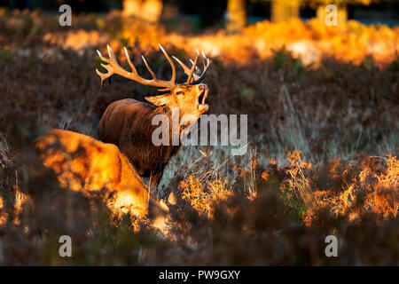 Red Deer during the autumn rut in the London parks - Stock Photo
