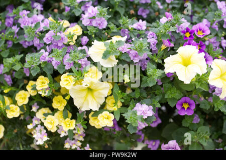 Petunias and Calibrachoa. Million bells and Petunia flowers in a hanging basket. - Stock Photo