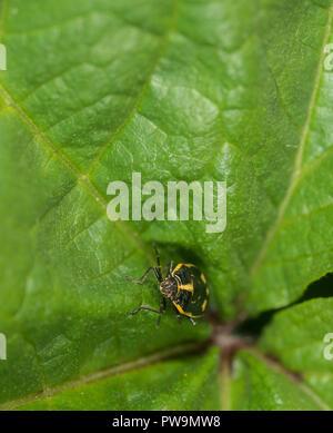 Shieldbug nymph on a green leaf - Stock Photo