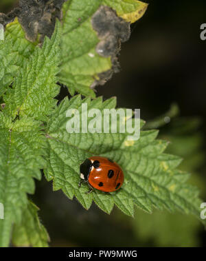 Ladybug on a green leaf - Stock Photo