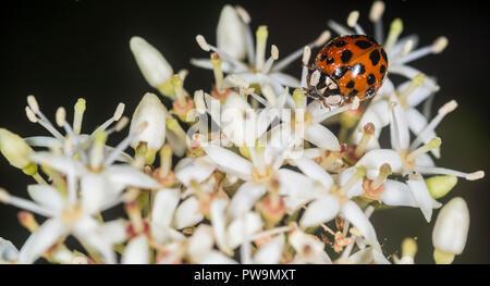 Ladybug on a flower - Stock Photo