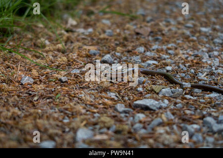 blindworm in German Forest - Stock Photo