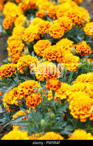 Tagetes patula. French Marigold 'Bonanza Flame' flowers. - Stock Photo