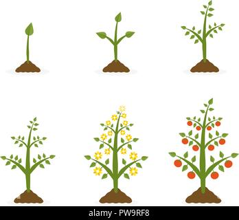 Vector illustration of plant growth stages. Tree with green leaf and red fruit. Planting vegetables concept on white background.