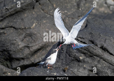 Adult Arctic tern (Sterna paradisaea), feeding it's chick on Flatey Island, Iceland - Stock Photo
