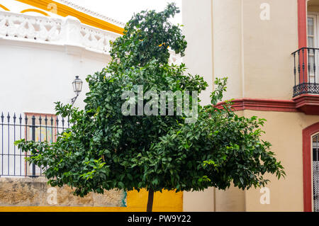 One of the many orange tree on the streets of Seville, Andalusia, Spain - Stock Photo