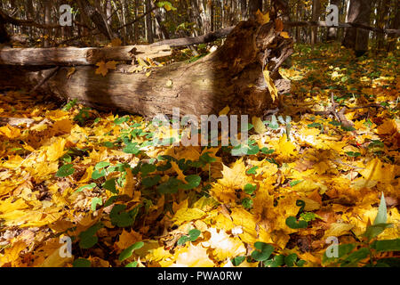 Fallen yellow maple leaves on a forest floor in autumn. Bitsevski Park (Bitsa Park), Moscow, Russia. - Stock Photo