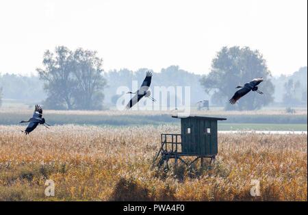 Kranich, Grus grus, über einem Acker in Günz, Mecklenburg-Vorpommern - Stock Photo