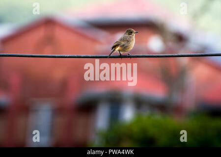 Small stonchat Bird in front of house front on wire - Stock Photo