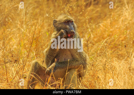 Chacma Baboon, Papio ursinus, eating in the bush. Dry season. Cape baboon it is one of the largest of all monkeys. Kruger National Park in South Africa. - Stock Photo