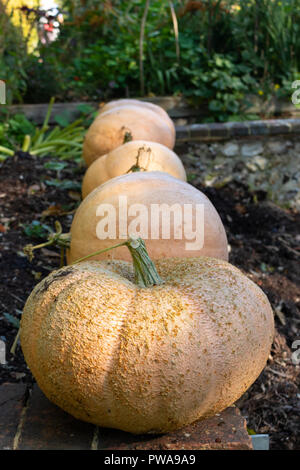 Fresh harvest of Autumn pumpkins from the vegetable garden, waiting for Halloween. Grown in a Southern England country farm house. - Stock Photo