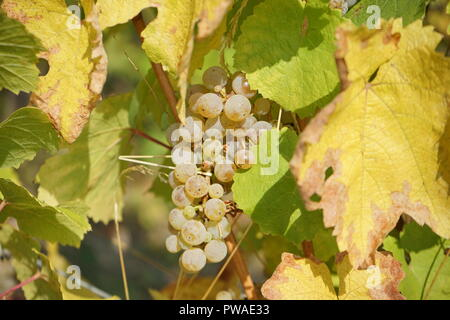 Rieslingtrauben, Edle Weinrebe (Vitis vinifera subsp. vinifera), Moseltal, Deutschland, Europa - Stock Photo