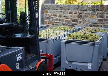 geerntete Rieslingtrauben, Edle Weinrebe (Vitis vinifera subsp. vinifera), Moseltal, Deutschland - Stock Photo