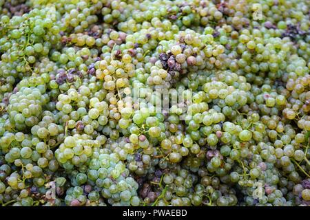 geerntete Rieslingtrauben, Edle Weinrebe (Vitis vinifera subsp. vinifera), Moseltal, Rheinland Pfalz, Deutschland, Europa - Stock Photo