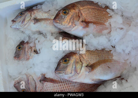 Seafood market, freshly caught Snapper fish on ice cubes, ready for sale - Stock Photo