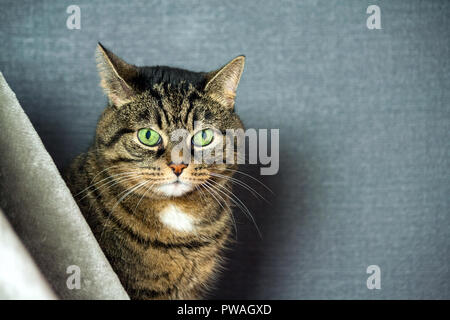 mongrel striped cat, fat cheeks, close-up portrait, sits behind a gray veil, in the background a dark blue background, huge green slanting eyes, - Stock Photo