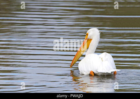 One white pelican floating on a lake moving away from viewer, close up. The American White Pelican is one of the longest bird native to North America. - Stock Photo