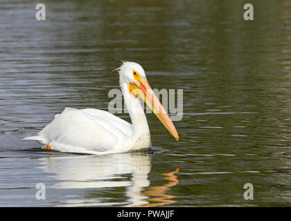 One white pelican floating on a lake profile view, close up. The American White Pelican is one of the longest bird native to North America. - Stock Photo