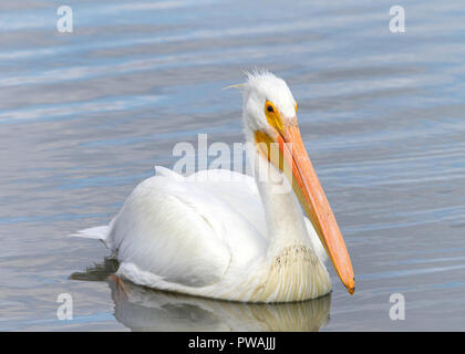 One white pelican floating on a lake, close up. The American White Pelican is one of the longest bird native to North America. - Stock Photo