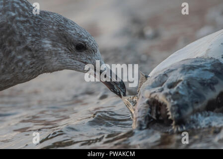 A juvenile herring gull from Lakeshore state park in Milwaukee, Wisconsin.  It is scavenging a dead salmon that has washed up on the beach.