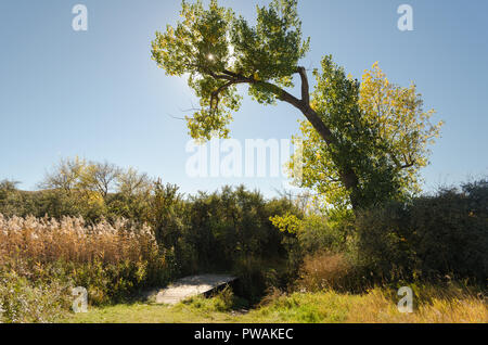 Poplar Tree with fall colors arching over a small wooden footbridge over a little creek - Stock Photo