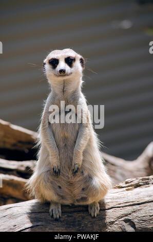 this meerkat is standing guard for his troop - Stock Photo