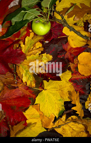 Parks and Gardens around UK are planted with indigenous and exotic trees to make the most of the vivid array of 'Fall' colours each autumn. - Stock Photo
