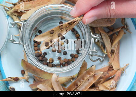 Lathyrus odoratus.  Removing and storing dried sweet pea seeds from their pods for future planting, UK - Stock Photo