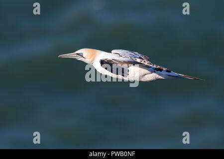 Detailed, close-up side view of single wild Northern gannet (Morus bassanus) in flight, isolated against dark blue sea water background, heading left. - Stock Photo